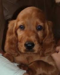 Si puppy