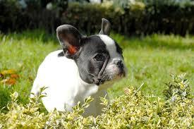 Boul dog farnc