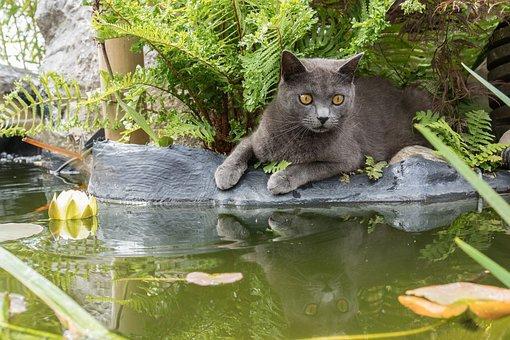 Chat Chartreux au bord d'un bassin