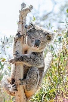 Koala 4757078 340