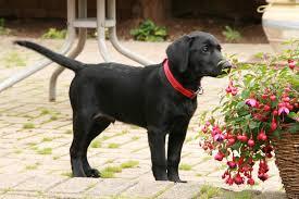 Labrador plante